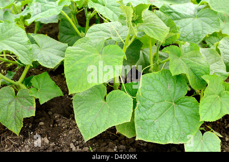 Cucumbers plants in vegetable garden - Stock Photo