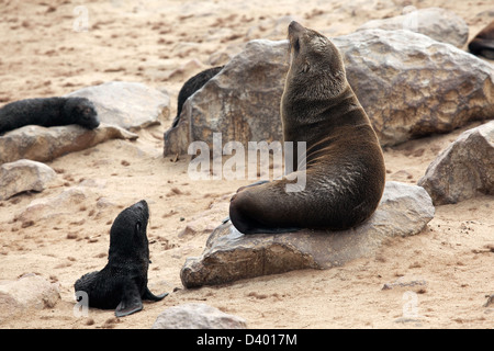 Brown fur seals (Arctocephalus pusillus) female and pups in seal colony, Cape Cross Seal Reserve, Namibia, South - Stock Photo