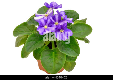 Violet flower in flower pot isolated on white background - Stock Photo