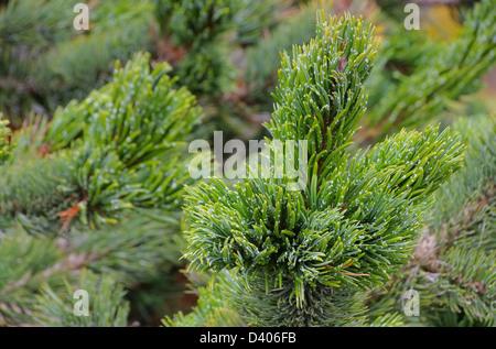 Grannenkiefer - Rocky Mountain Bristlecone Pine 01 - Stock Photo