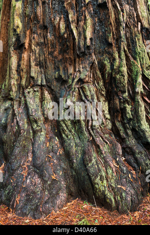 REDWOOD TREES IN BIG BASIN REDWOODS STATE PARK - Stock Photo
