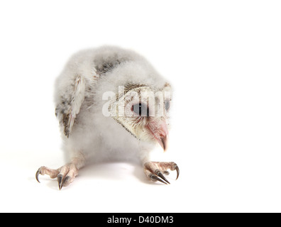 barn owl chick tyto alba photographed against a white background and prepared ready for cut-out - Stock Photo