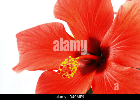 Beautiful red hibiscus flower on a white background - Stock Photo