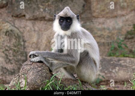 Juvenile Tufted Gray Langur Semnopithecus priam - Stock Photo