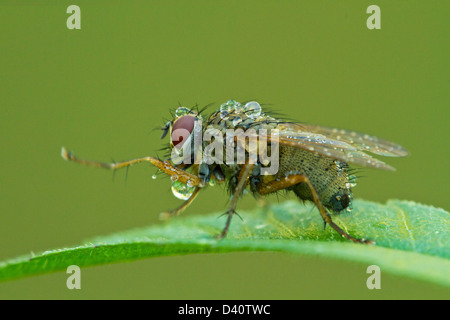 Macro photography of Tachinid fly perched on a green leaf with morning dew drops - Stock Photo