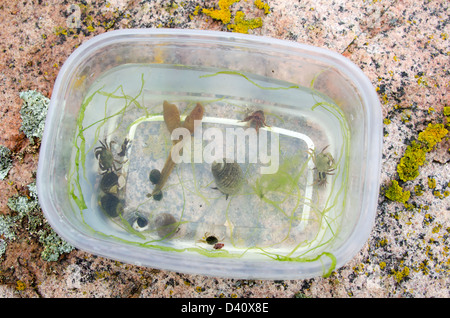 Crabs, hermit crabs, periwinkles, and seaweed collected on a marine biology field trip in Acadia National Park, - Stock Photo