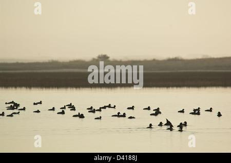 Flock of redhead ducks (Aythya americana) on the water near Rockport Texas - Stock Photo