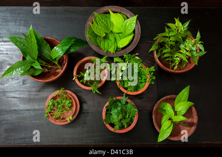 Medicinal herbs plants kept on pots, used for making medicine for ayurveda - Stock Photo