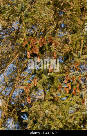 Sitka Spruce, Picea sitchensis, with mature cones - Stock Photo