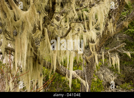 Beard lichens (Usnea) festooning Shore Pine (Pinus contorta) in dwarfed native woodland on sand dunes, California, - Stock Photo