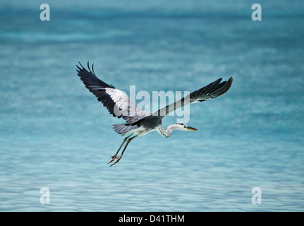 White faced heron flying above ocean, Maldives - Stock Photo