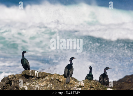 Pelagic Cormorants (Phalacrocorax pelagicus) on rocks by the sea, North California coast at MacKerricher State Park, - Stock Photo