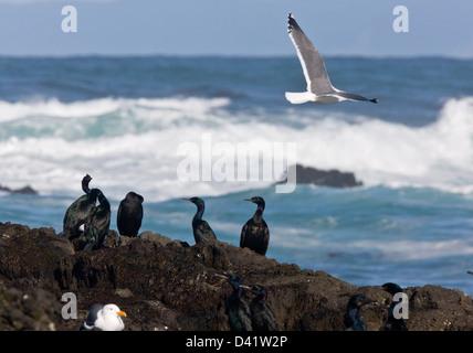 Pelagic Cormorants (Phalacrocorax pelagicus) on rocks by the sea, with Western Gull, MacKerricher State Park, California - Stock Photo