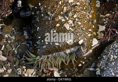 Giant Green Anemone, Anthopleura xanthogrammica, in tidepool on the North California coast at MacKerricher State - Stock Photo
