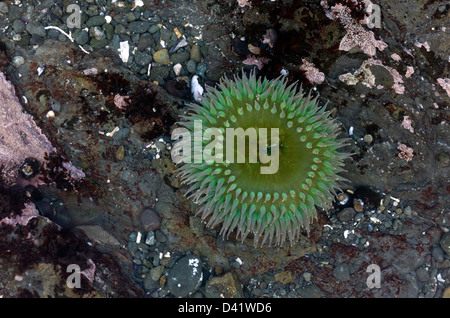 Giant Green Anemone (Anthopleura xanthogrammica) in tidepool on the North California coast, MacKerricher State Park, - Stock Photo