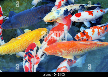Several carp in a pond - Stock Photo