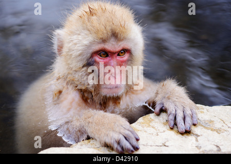 A Japanese Macaque relaxes in the hot spring. - Stock Photo