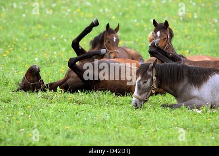 Görlsdorf, Germany, horse writhes on the pasture - Stock Photo
