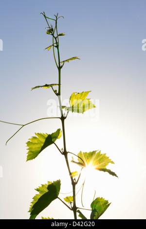 grape vine tendril - Stock Photo