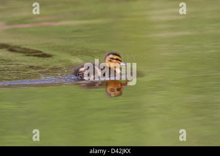 Duckling, Mallard / Wild Duck (Anas platyrhynchos) in a pond, Fairy Glen, Black Isle, Scotland, UK - Stock Photo