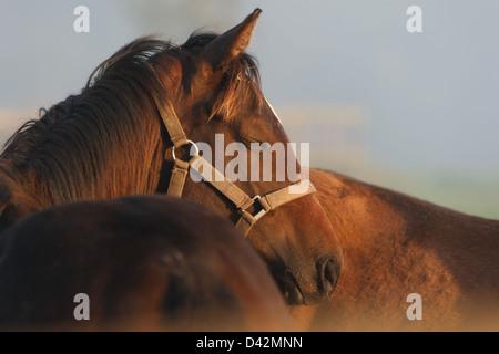 Görlsdorf, Germany, horse dozing in portrait - Stock Photo