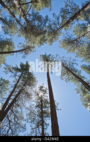 Looking up at the clear blue sky through a forest tree canopy. - Stock Photo