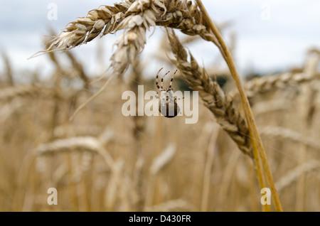 four-spot orb-weaver araneus quadratus spider on web between wheat ears. - Stock Photo