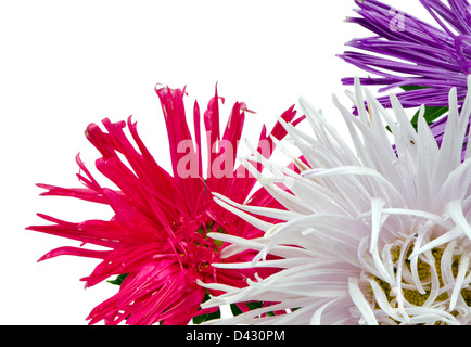 purple red and white aster flower bloom with dew water drops closeup isolated on white background - Stock Photo