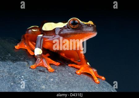 Clown tree frog / Dendropsophus leucophyllatus - Stock Photo