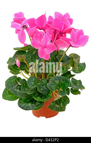 Cyclamen in a flowerpot isolated on white background - Stock Photo