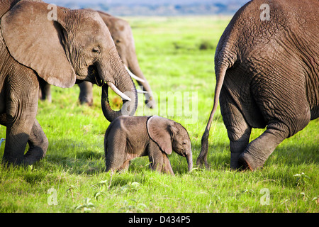 Baby elephant and family on African savanna in Amboseli National Park, Kenya, Africa - Stock Photo