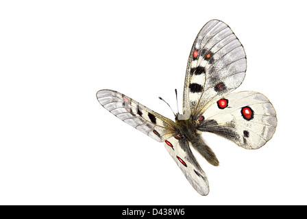 Small apollo (Parnassius phoebus) in flight - Stock Photo