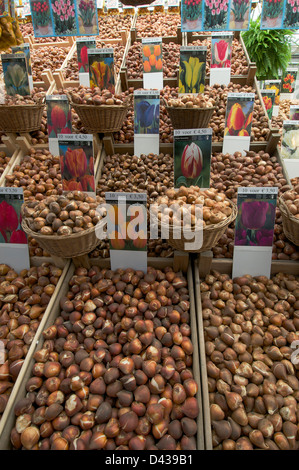 Spring bulbs on sale in bulk in an Amsterdam flower market. Includes tulips and daffodils - Stock Photo