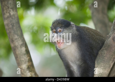 Red-Tailed Monkey, Cercopithecus ascanius. Vocalizing in a territorial dispute with another monkey troop - Stock Photo