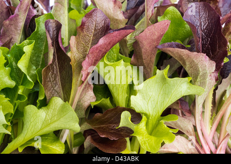 Close Up of Salad Leaves 'Baby Living Leaf Lettuce,' Growing in a Container. - Stock Photo