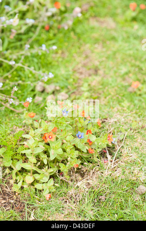 Blue flowering Scarlet Pimpernel, Anagallis arvensis - Stock Photo