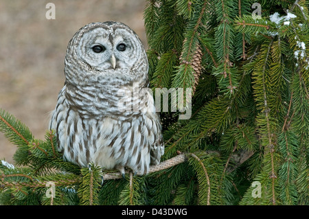 Barred Owl (Strix varia) sitting in Spruce tree E USA - Stock Photo