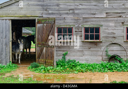Donkey takes cover in a barn during rain, West Tisbury, Martha's Vineyard, Massachusetts, USA - Stock Photo