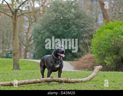 STAFFORDSHIRE BULL TERRIER DOG (CANIS LUPUS FAMILIARIS) IN PARK. UK - Stock Photo