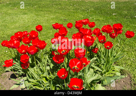 Bed with tulips in a garden near the house - Stock Photo