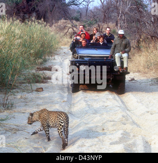 Leopard walking before tourists on safari in a jeep from a lodge in Sabi Sands Game Reserve, Kruger National Park, - Stock Photo