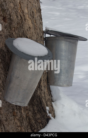 Two metal cans attached to a maple tree for sap collection - Stock Photo