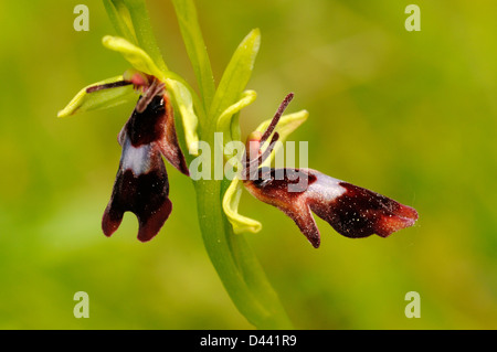 Fly Orchid (Ophrys insectifera) Buckinghamshire, England, May - Stock Photo