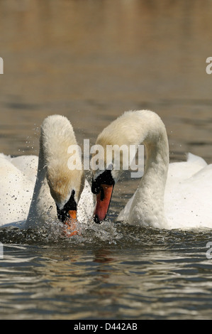 Mute Swan (Cygnus olor) pair dipping heads in water in unison, courtship display, Oxfordshire, England, May - Stock Photo
