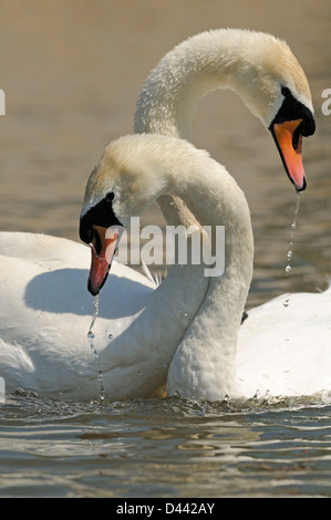 Mute Swan (Cygnus olor) breeding pair, with necks entwined, courtship display, Oxfordshire, England, May - Stock Photo