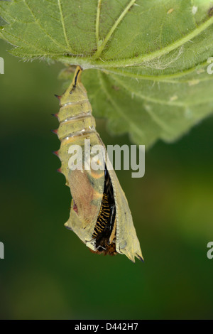 European Peacock Butterfly (Inachis io) emerging from its pupa, Oxfordshire, England, October - Stock Photo