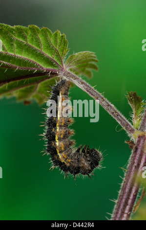 Painted Lady Butterfly (Vanessa cardui) larva hanging from stinging nettle leaf, preparing tp pupate, Oxfordshire, - Stock Photo