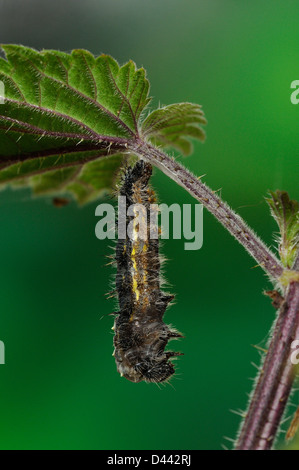 Painted Lady Butterfly (Vanessa cardui) larva hanging from stinging nettle leaf, shedding skin preparing to pupate, - Stock Photo