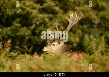 Red Deer (Cervus elaphus) stag partly hidden amongst bracken, Richmond Park, England, October - Stock Photo