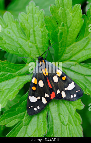 Scarlet Tiger Moth (Callimorpha dominula) adult at rest on leaf, Oxfordshire, England, May - Stock Photo
